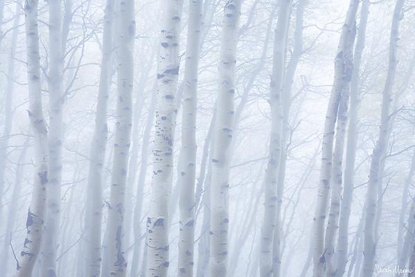Foggy Aspens