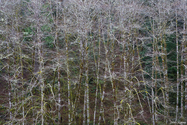 Winter Alders