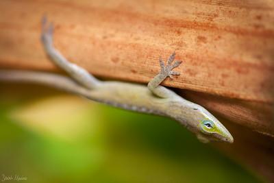 Kauai Lizard 5