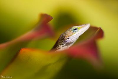 Kauai Lizard 1