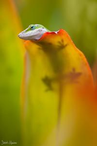 Kauai Lizard 3