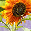 Sunflower at Jardin du Solei Lavender Farm, Sequim