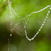 Dew drops on spider web in Sol Duc Valley, Olympic National Park