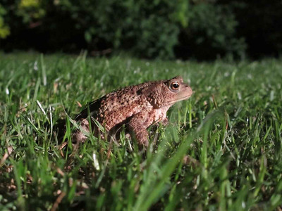 Toad on the lawn. Taken 27th June 2012.