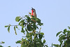Rosy-patched Bush-Shrike0005