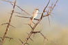 Red-tailed_Shrike0001