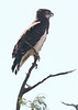 Black-chested_Snake_Eagle0002