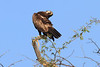 Sarara_Black_Kite_Kenya0003