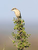 Red-tailed_Shrike0004