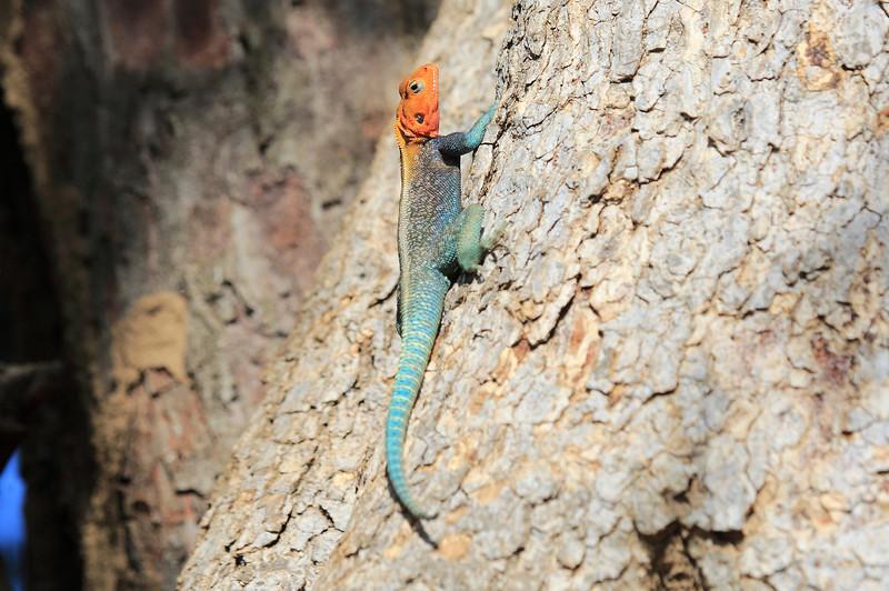 Agama Lizard Sarara