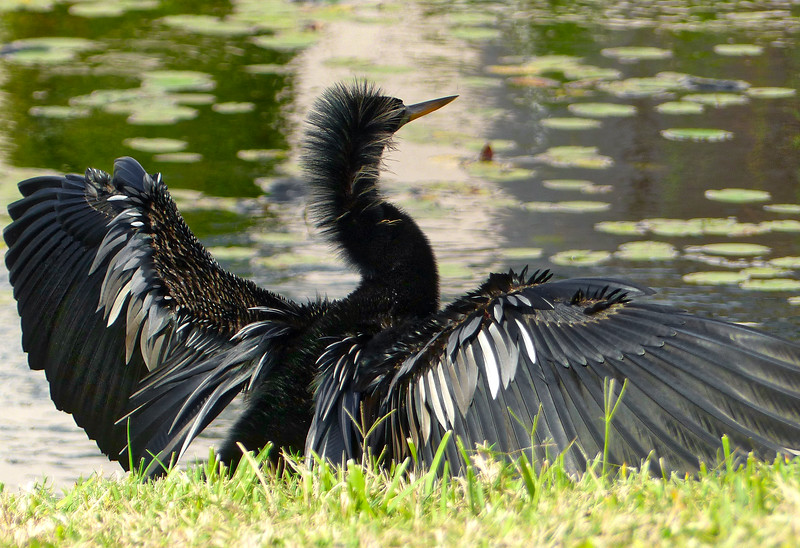 Anhinga drying its wings, which show a surprising number of silver feathers. I'd always thought of them as solid black.