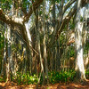"Banyan tree--a kind of ""strangler fig"""