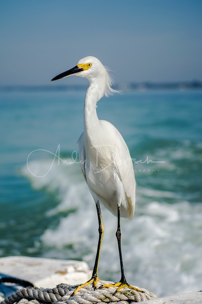 Boat Riding Snowy Egret