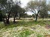 olive tree grove at Serra Orios bronze age settlement, Sardegna<br /> <br /> Olympus E-600 & Zuiko 12-60mm/2.8-4.0