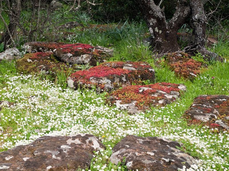 spring fkowers at Serra Orios bronze age settlement, Sardegna<br /> <br /> Olympus E-600 & Zuiko 12-60mm/2.8-4.0