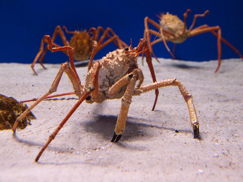 spider crab, aquarium of Cala Gonone<br /> <br /> Olympus E-600 & Zuiko 12-60mm/2.8-4.0