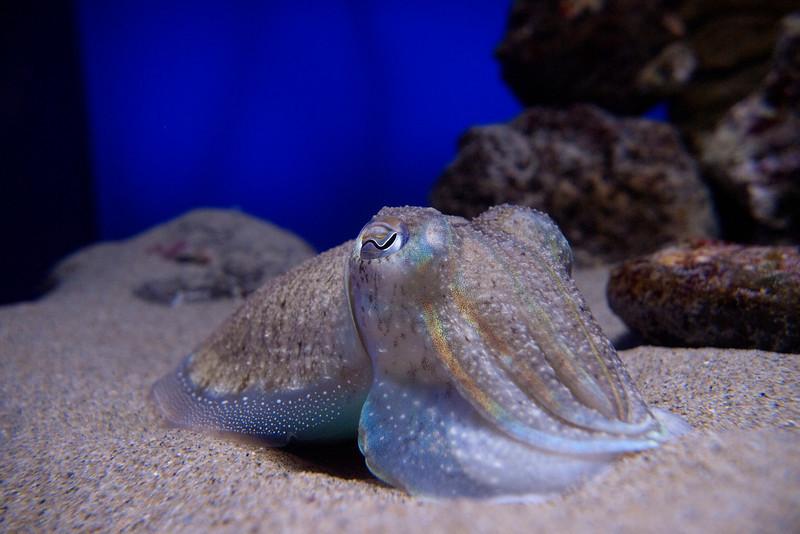 Sepia officinalis, aquarium of Cala Gonone<br /> <br /> Olympus E-600 & Zuiko 12-60mm/2.8-4.0