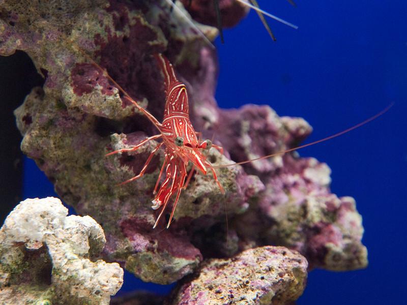 tropical shrimp, aquarium of Cala Gonone<br /> <br /> Olympus E-600 & Zuiko 12-60mm/2.8-4.0
