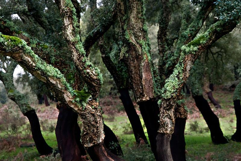 Quercus suber, Cork Oak, near Buddusò, east-central Sardinia<br /> Olympus E-420 & Zuiko 12-60mm/2.8-4.0