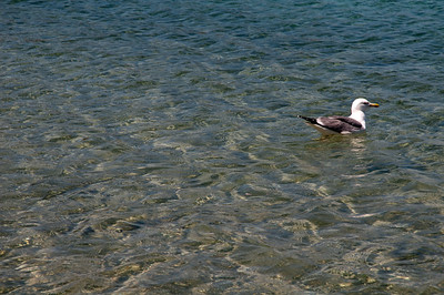 Sardinia, Italy: Monte d'Arena beach in La Maddalena Island. A seagull on the water.