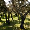 Buddusò: bosco di querce da sughero nei pressi del paese