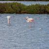 Carloforte: fenicotteri rosa in uno stagno dell'Isola di San Pietro