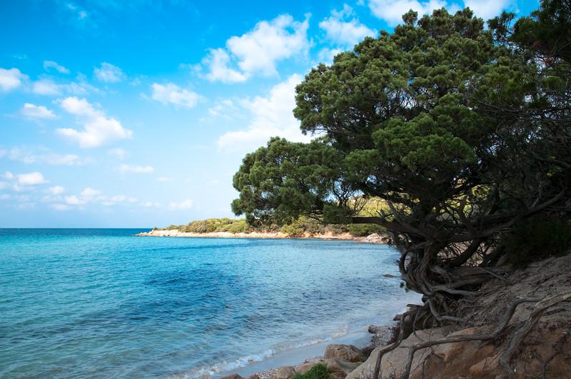 Sardinia, Italy: Costa Smeralda, wild juniper on Pevero beach - Sardegna, Costa Smeralda, cipresso marittimo sulla spiaggia del Pevero