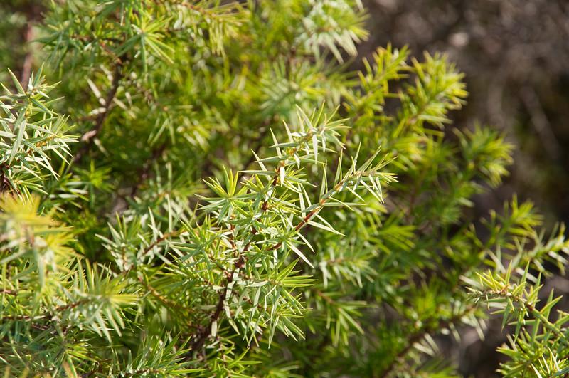 Sardinia, Italy: wild juniper at Cala Petra Ruja bay in Costa Smeralda - Ginepro selvatico a Cala Petra Ruja, Costa Smeralda, Sardegna.