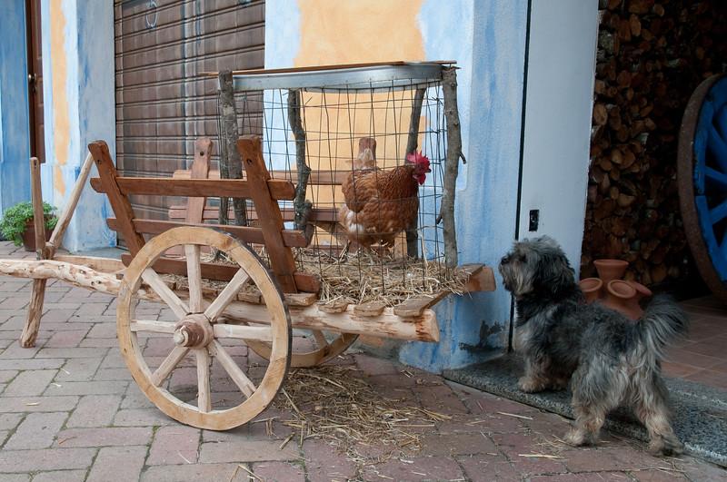 Fonni: carretto con una gallina durante le cortes apertas