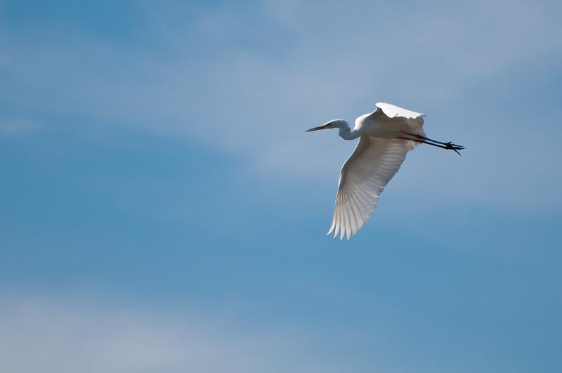 Airone bianco in volo sopra lo stagno di Santa Giusta, nei pressi di Oristano.