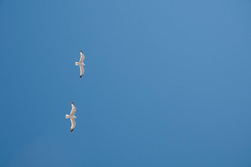 Animali di Sardegna: gabbiani in volo sulle Bocche di Bonifacio