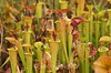 Sarracenia flava, Yellow Pitcher Plant; Horry County, South Carolina  2013-10-10  #4