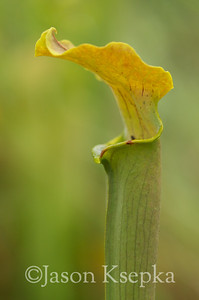 Sarracenia alabamensis alabamensis, Cane-brake Pitcher Plant; Autauga County, Alabama  2013-09-25  #45