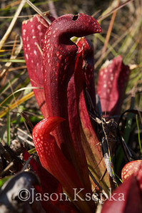 "Sarracenia x formosa (Sarracenia minor variety okefenokeensis, Hooded Pitcher Plant ""Okeefenokee Giant"" x Sarracenia psittacina, Parrot Pitcher Plant); Ware County, Georgia  2011-11-08  #2"