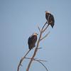 African Fishing Eagles, Samburu National Reserve
