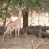Gerenuk, also known as Waller's Gazelle, a species of antelope in Samburu National Reserve