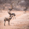 AAfrican Wild Dog in Samburu