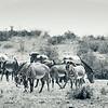 Grevy's Zebra in Samburu National Reserve