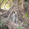 Vervet monkey, mother and baby, Samburu National Reserve