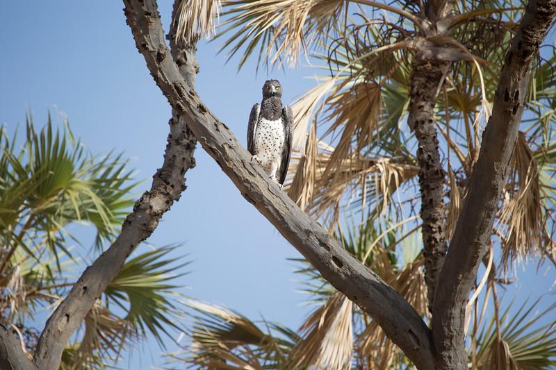 Serpent eagle, Samburu National Reserve