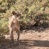 Lion in Samburu National Reserve