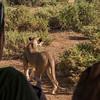 Lion watching in Samburu National Reserve