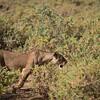 Lion at Samburu National Reserve