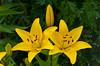 A group of yellow hybrid lilies in Waldheim, Saskatchewan, Canada.
