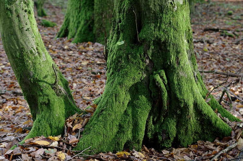 Mossy trunk bases in sidelight
