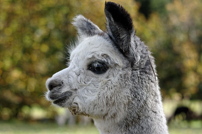 Alpaca youngster, as if day-dreaming