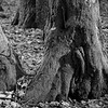 Mossy trunk bases in sidelight (b/w)