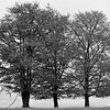 Three of a kind, Stilleking Nature Reserve (b/w)