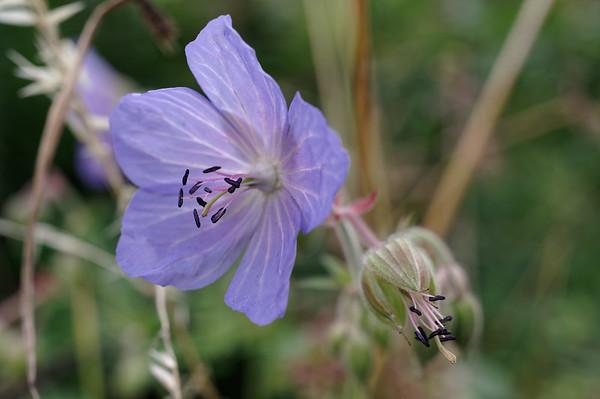 Meadow crane's-bill, flower closeup