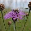 Honeybee on a brown knapweed flower III